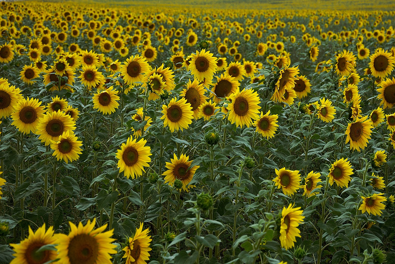 sunflower-4386505_1280