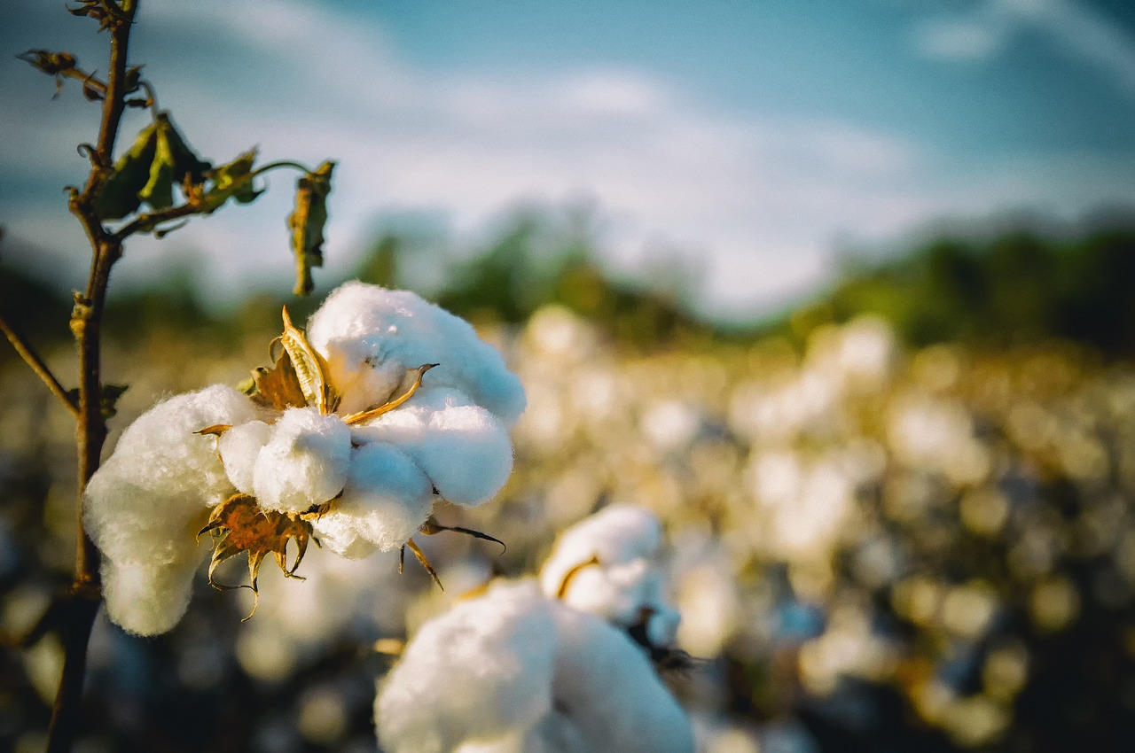 cotton-2807360_1280