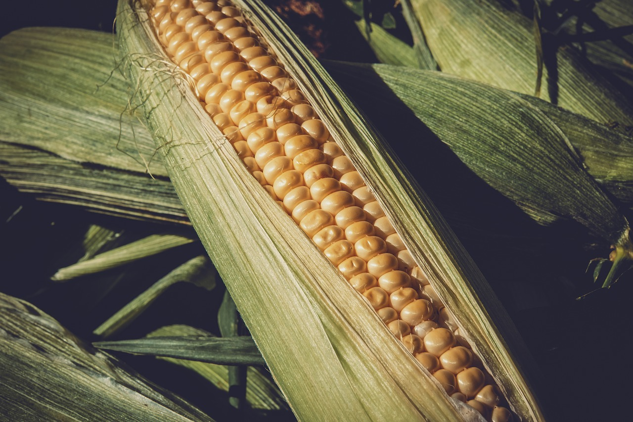 sweet-corn-3705687_1280