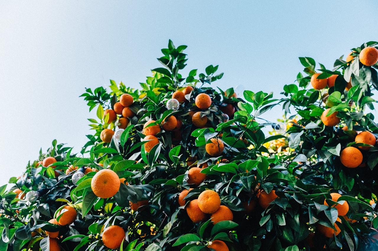 tangerines-1208301_1280