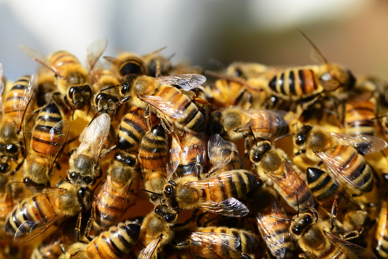 honey-bees-326334_1280