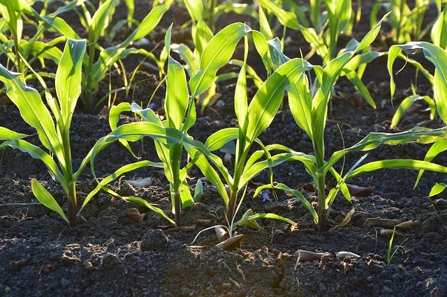 corn-1841271_640