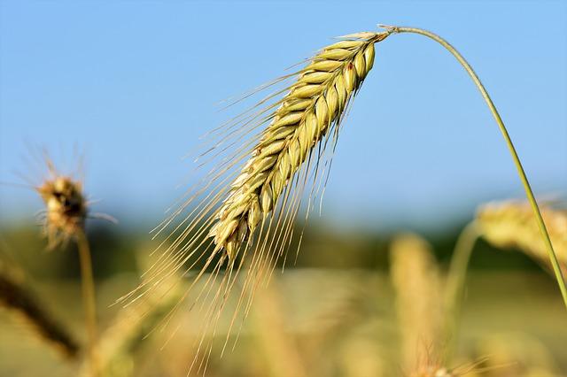 wheat-3492292_640